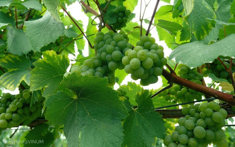 VINUM-green-grape