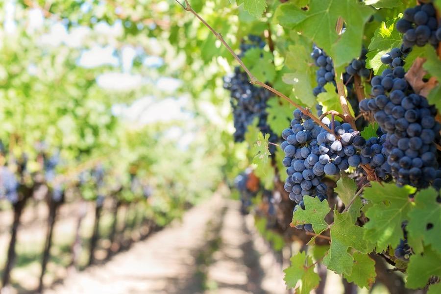 Vinum vineyard and wine in Napa Valley