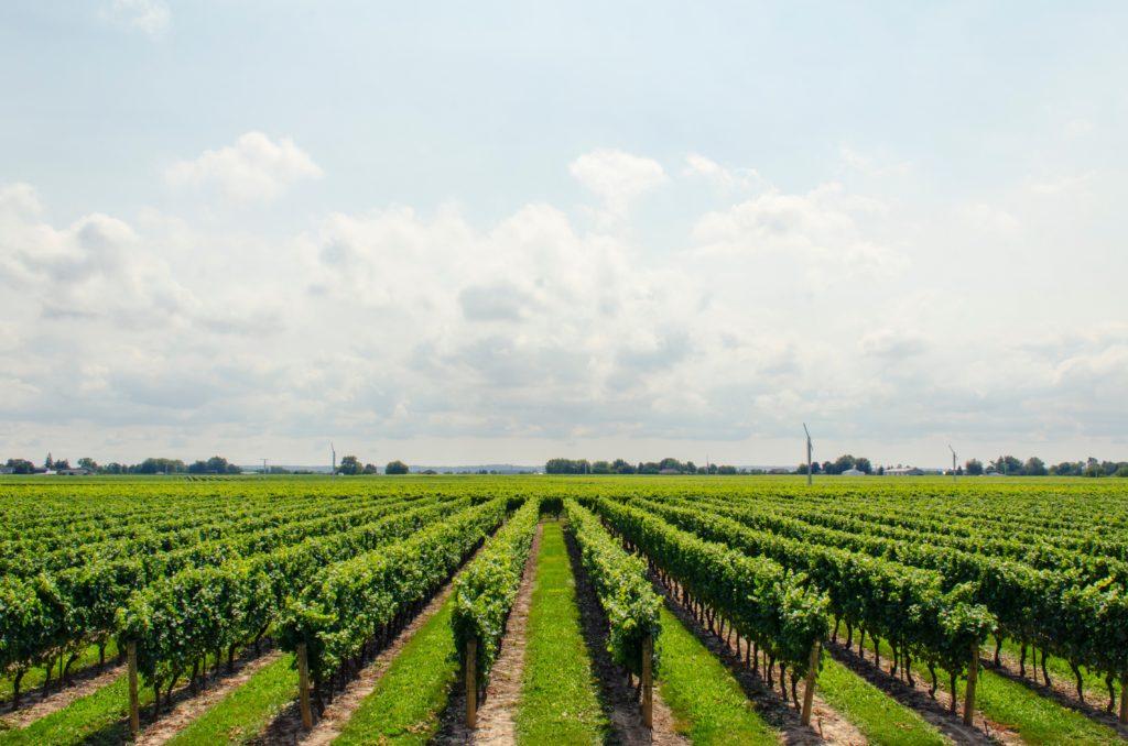 VINUM vineyard