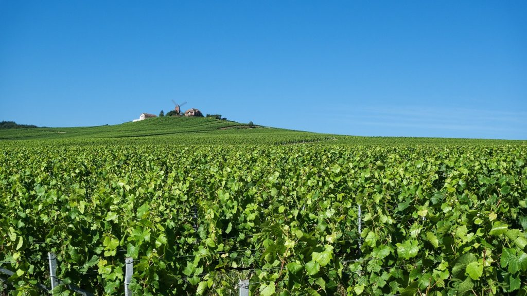 VINUM France-vineyard