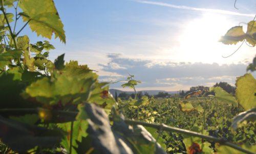 vineyard-at-sunset