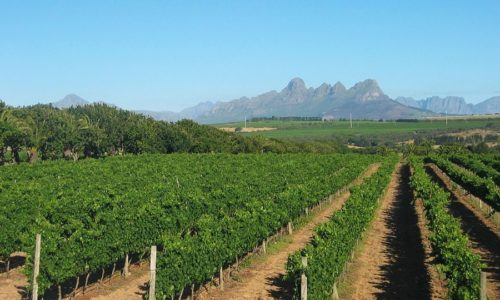Stellenbosch_Vineyard